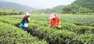 日月潭東峰紅茶莊園