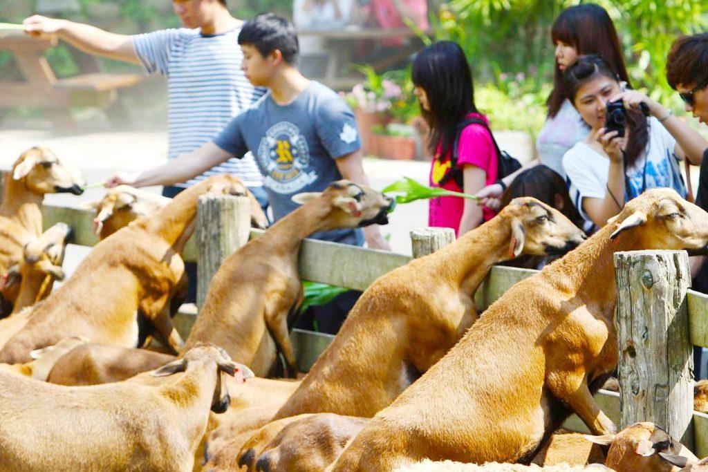 飛牛牧場-餵羊吃草 (2)